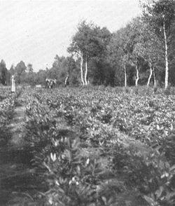 Langesø-Plantage---rhododen