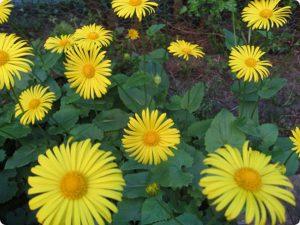 Gemserods gule skivekroner