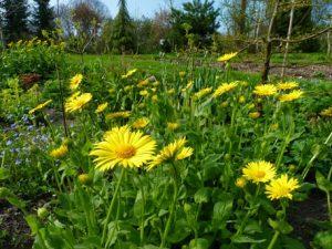 Gemserod kan trives i blomsterenge